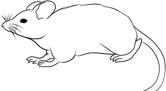 как нарисовать крысу карандашом поэтапно